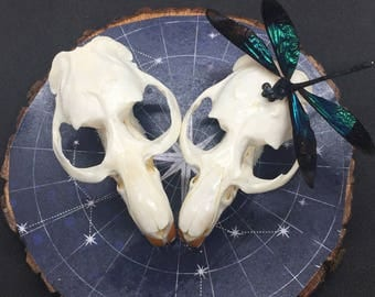 Star Crossed Muskrats Wall Hanging- real skulls