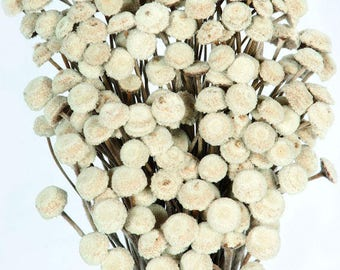 Natural Dried Floral Buttons   Giant Floral Buttons   Natural Flowers  