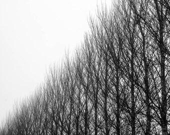 Poplar lines - a black and white digital print , Monochrome tree photograph, Silhouetted trees, wall art, fine art print, christmas gift