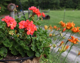 Geranium and Day Lilies Photo