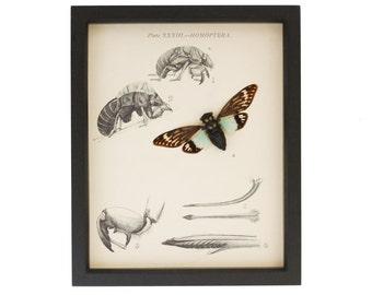 Framed Natural History Print Real Cicada Specimen