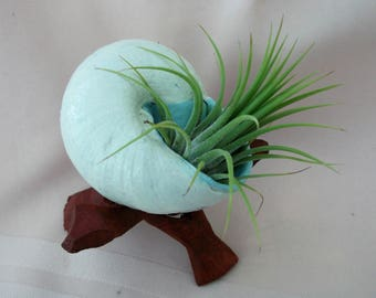 Perky Pet Plant for you in hand painted snail shell