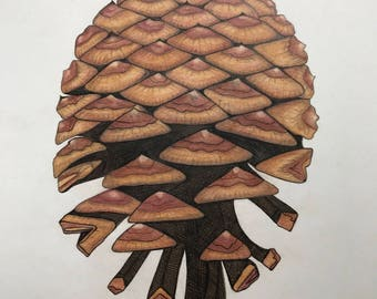 Ponerosa Pine Cone Illustration Print