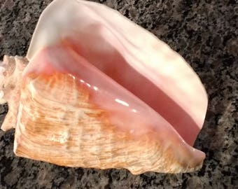 """Large and Gorgeous Conch Shell / 10"""" Pink & Gold Conch Seashell"""