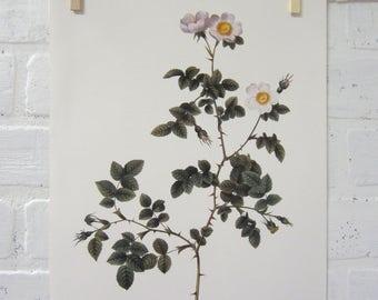 Redoutes Roses Book Page Plate Botanical Wall Art White Rosa Rubiginosa Vaillantiana Rose