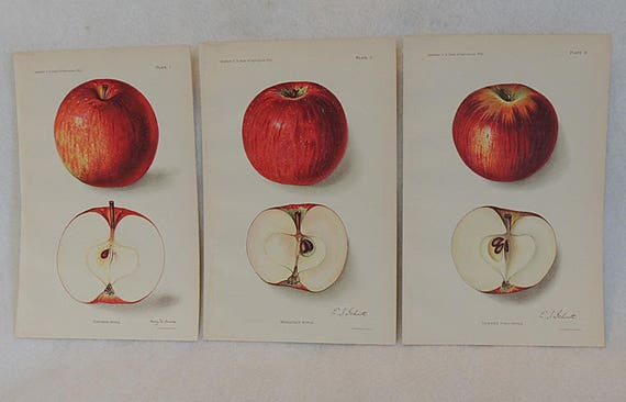 3 Orig 1912 Lithograph 6 x 9 Colored Plates APPLE.. U.S. Dep Of Ag Yearbook