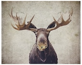 Moose canvas gallery wrap - Moose photograph - wildlife photo - antlers photograph - moose antlers - rustic photograph - rustic home decor