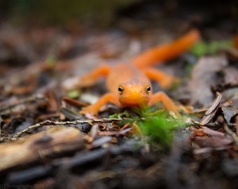 8x10 Red Spotted Newt Nature Print