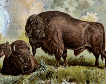 1890 Antique print of EUROPEAN BISON. WISENT. European Wood Bison. Zoology. Natural History. 127 years old lithograph