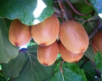 Kiwi Fruit Tree Seeds, Actinidia chinensis - 25 Seeds