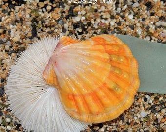 29 mm Hawaiian Sunrise shell #258