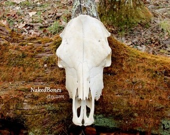 Real Cow Skull - Adult Female - Bovine - Bos taurus - Domestic Cow Skull - Naturally Cleaned