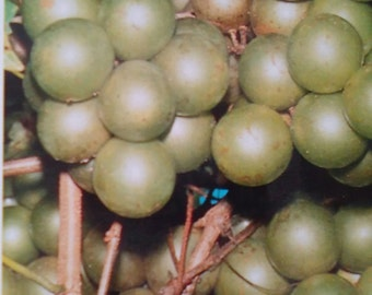 Frye Scuppernong Grape Vine 2 Gal. Live Healthy Plant Grapes Plants Vineyards Garden Vineyard Grapes Vineyards Natural Antioxidants Gardens