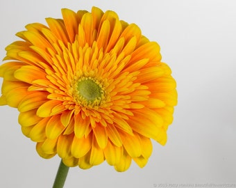 ADG)~SCHOOL BUS Yellow Gerbera Daisy~Seed!~~~~~Lively!
