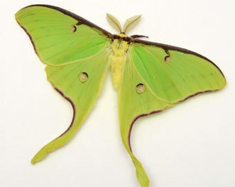 LUNA MOTH near perfect grade unmounted ex-pupa specimens SPECTACULAR and ethereal graceful