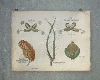 Rare antique German Botanical School Wall Chart Biology, Botany botanische Flower Plant Anatomy CIRCA 1910 A PETER Berlin Urticaceae URTICA