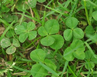 Four Leaf Clover Instant Digital Download - Five Leaf Clover Rare Finds - Good Luck - St. Patrick's Day - Luck of The Irish - Treasure Hunt