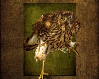 Portrait of a Cooper's Hawk