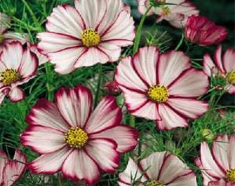Cosmos Sensation Picotee Flower Seeds / Annual / 35+
