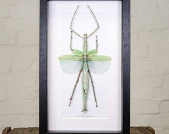 Giant Stick Insect in Box Frame (Eurycnema versirubra)
