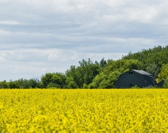 Canola field, summer, photography, agriculture, landscape, farming, photographic print, panorama, barn