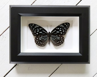 Real framed butterfly: Tirumala septentrionis // shadowbox // mounted // gift for her // housewarming gift // natural decoration