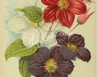 flowers-32254 - clematis henryii, clematis madame edward andre, clematis jackmanni high resolution vintage picture image book illustration