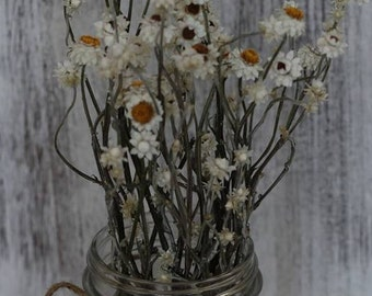 Ammobium Short Stems- Set of 12- Winged Everlasting Flower, Pearly Everlasting, Wedding Flower, Corsage, Boutonniere