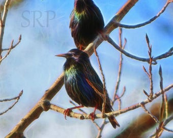 Starling Searchers - INSTANT DOWNLOAD - European Starlings