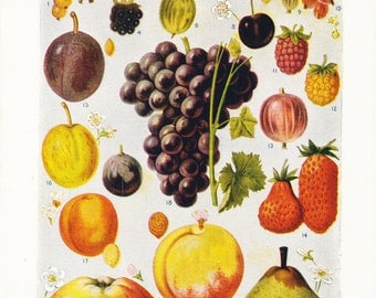 1920s Fruits Print - Vintage Plant Home Decor Art Illustration Nature Science Great for Framing 95 Years Old