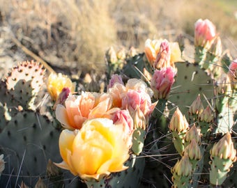 Photograph Print - Desert Rose Chisos Mountains, Big Bend National Park TX - yellow pink flower sun prickly pear cactus desert
