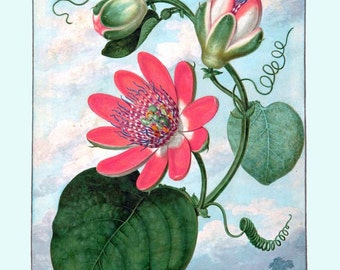antique french botanical print passiflora passion flower illustration digital download
