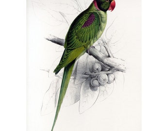 Parrot Print Large by Edward Lear SALE Buy 3, get 1 FREE