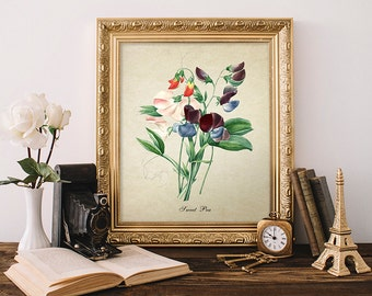 Vintage Botanical Print, Vintage Sweet Pea Botanical Illustration, Home Decor, Natural History Print, Sweet Pea Botanical Reproduction FL070
