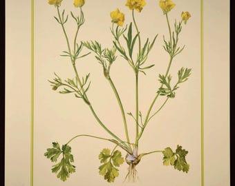 Buttercup Flower Print Yellow Flower Print Nature Wall Art