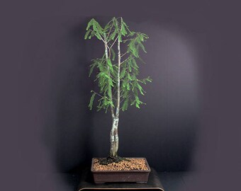 "Bald cypress bonsai tree summer'17 ""Joined by love"" collection from LiveBonsaiTree"""