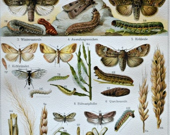 Insects. Agricultural pest insects print. Old book plate, 1904. Antique  illustration. 113 years lithograph. 9'6 x 6'2 inches.