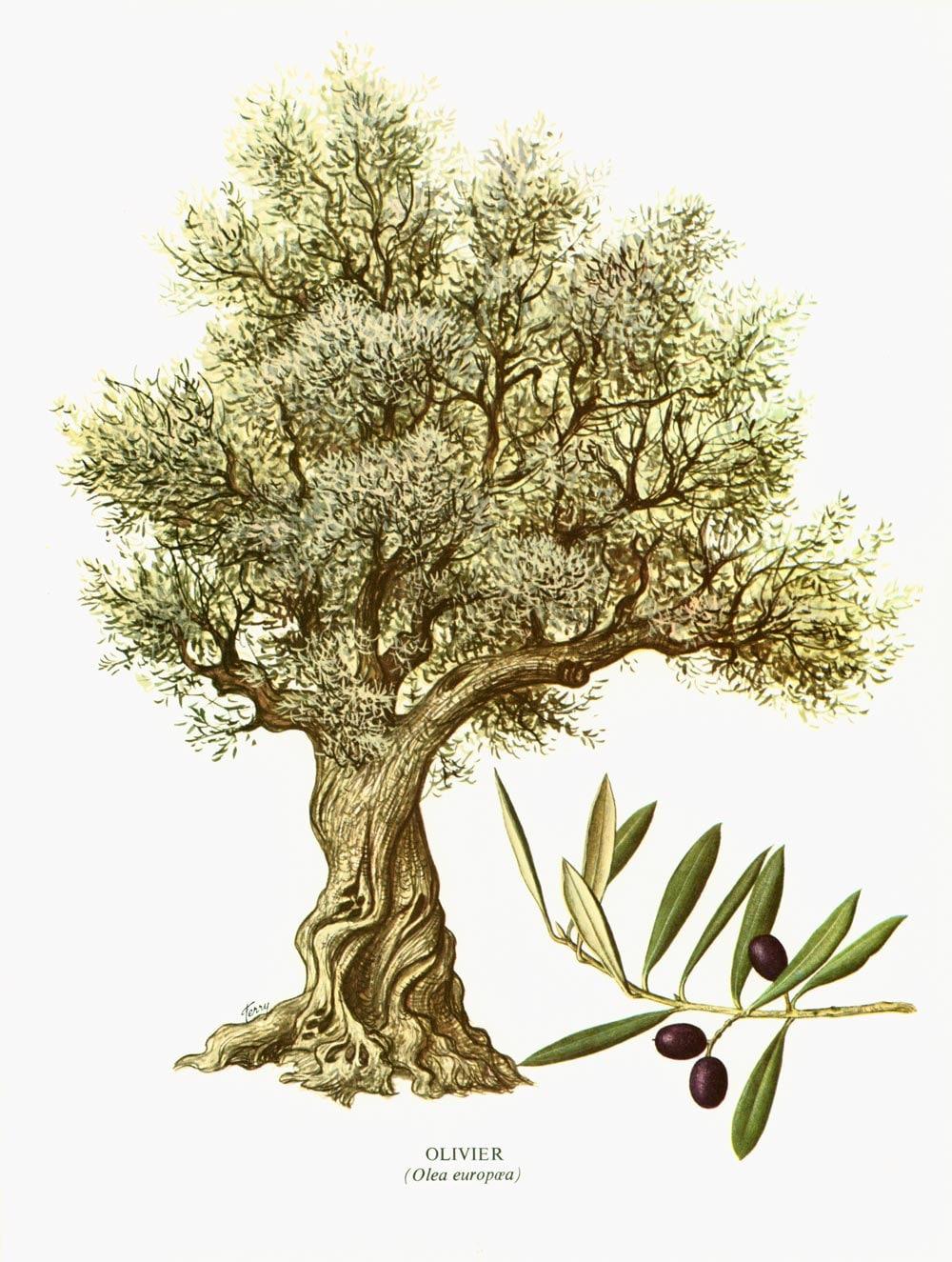 1967 olivier olea europaea arbre olive planche botanique. Black Bedroom Furniture Sets. Home Design Ideas