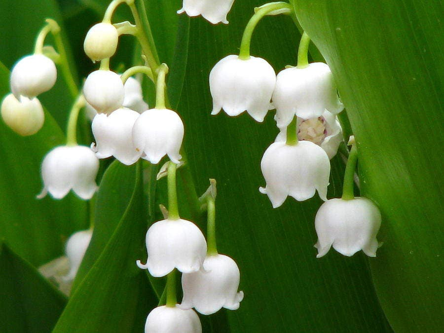 live lily of the valley plants convillaria majalis shade perennial, Natural flower