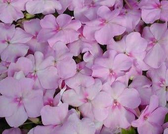 1,000 Bulk Impatiens seeds Impatiens Cascade Beauty Lavender Blush