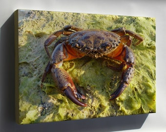 Canvas 24x36; Yellow Crab Eriphia Verrucosa Old Male, Sometimes Called The Warty Crab Or Yellow Crab