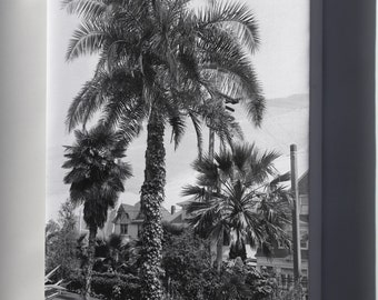 Canvas 16x24; A Big Palm Tree (Phoenix Reclinata) In A Los Angeles Park, Ca.1920 (-2731)