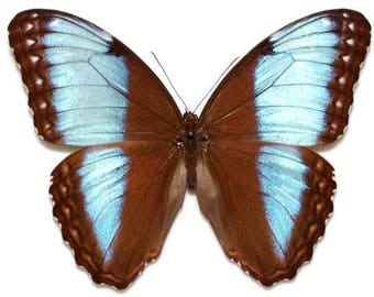 Supplies for your artworks - dried insects - : 5 pieces of morpho helenor marinita LARGE , morphini , unmounted A1 quality FREE SHIPPING