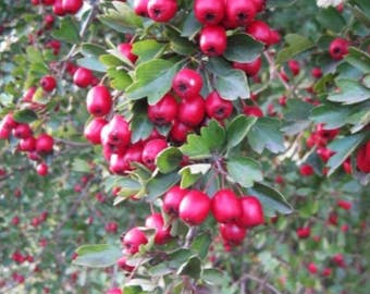 Wild Hawthorn Seeds (Crataegus monogyna) 10+ Rare Medicinal Herb Seeds in Frozen Seed Capsules™ plus FREE 6 Variety Seed Pack!