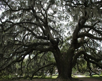 Savannah Oak Tree, Majestic Oak, Oldest Oak, Savannah Moss Tree, Savannah, Georgia, Historic Oak, Tree, Oak Tree, Nature Photography