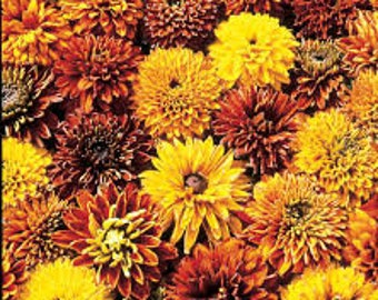 Rudbeckia (Rudbeckia 'Cherokee Sunset') - live plants - daisy plants - perennial plants - black-eyed susan - plants for sun - orange flowers
