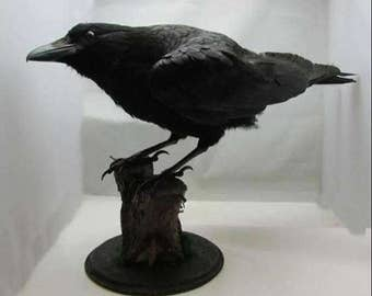 Taxidermy large crow. Sale price