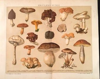 Edible Fungi - Original Vintage Print,  Antique Color Lithograph, Natural History Print