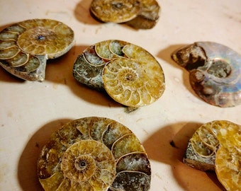 Ammonite Fossil - Medium Fossil - Beautiful Patterned - Prehistoric Fossils - Wire Wrapping - Polished Fossil - Crystalized Chambers