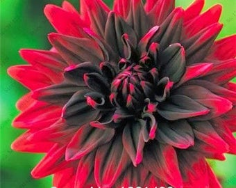 Dahlia Bulbs, (not Dahlia Seeds), Holland Dahlia Flower 3 Bulbs (item No: 4)